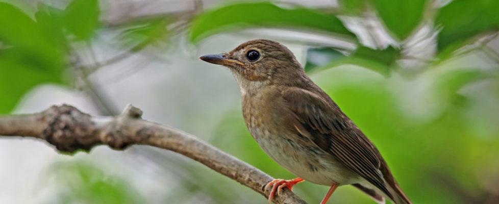 白喉林鶲 White-gorgetted Jungle Flycatcer