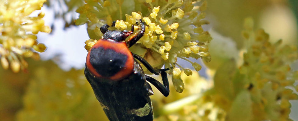 紅緣短突花金龜 Glycyphana horsfieldi chinensis