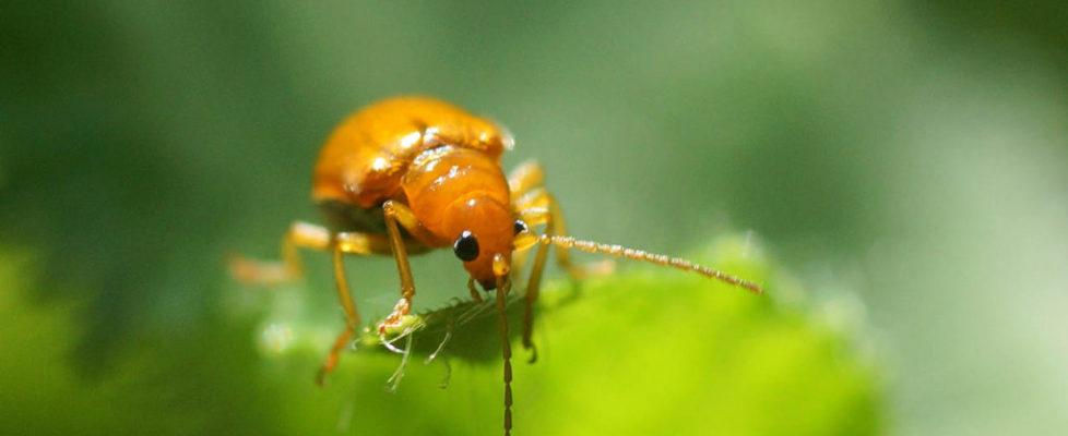 黃守瓜 Aulacophora indica