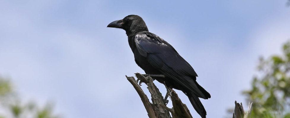 crow111