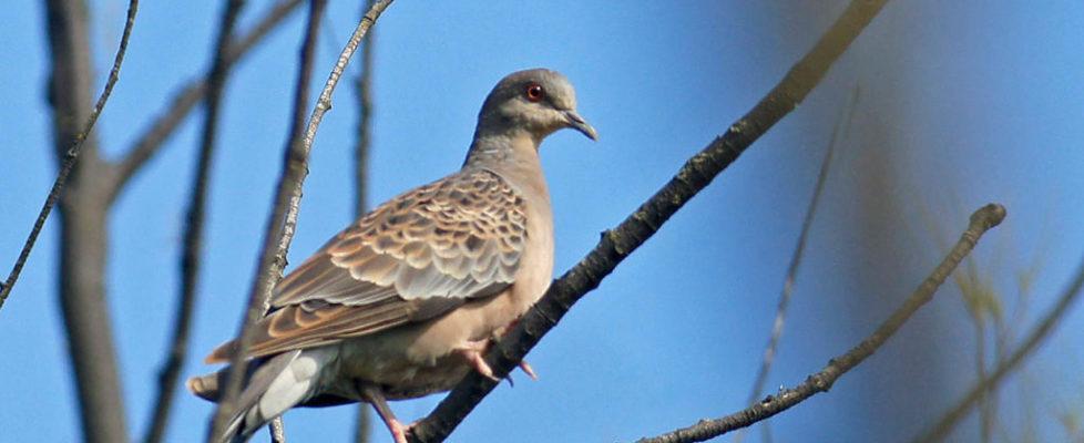 山斑鳩 Oriental Turtle Dove