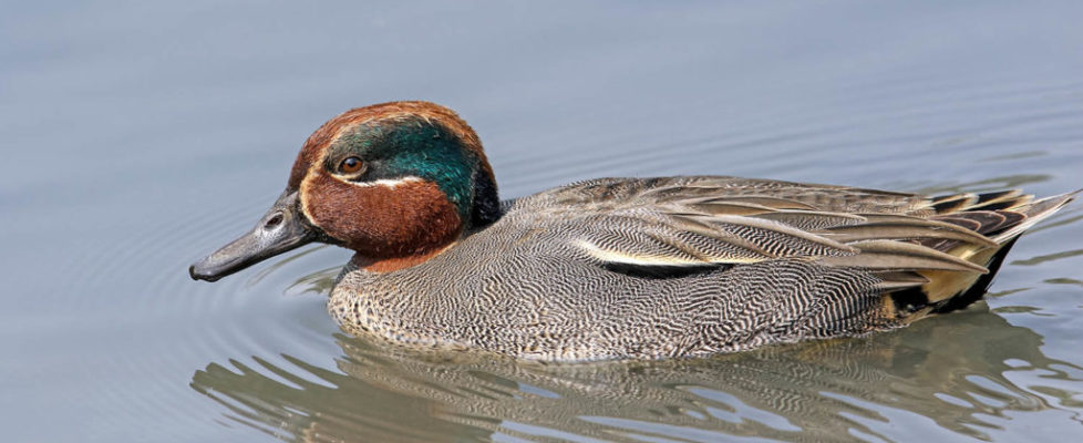 duck108