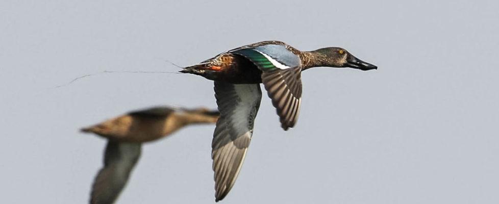 duck123a