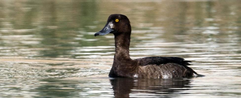 鳳頭潛鴨 Tufted Duck