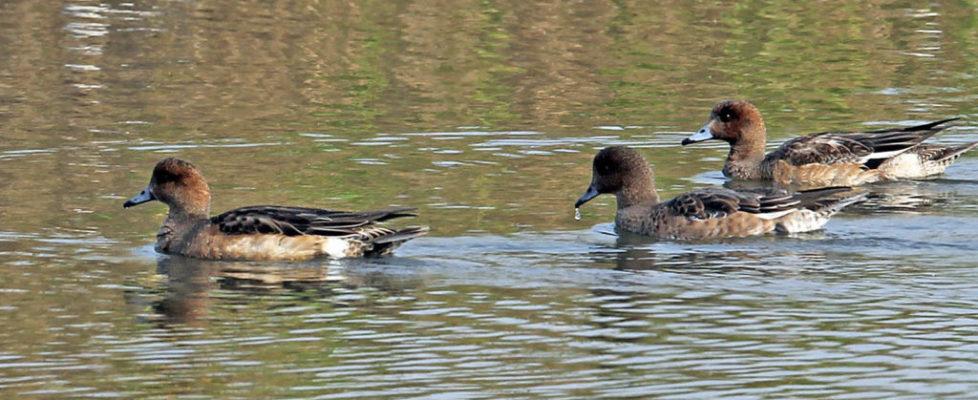 duck164