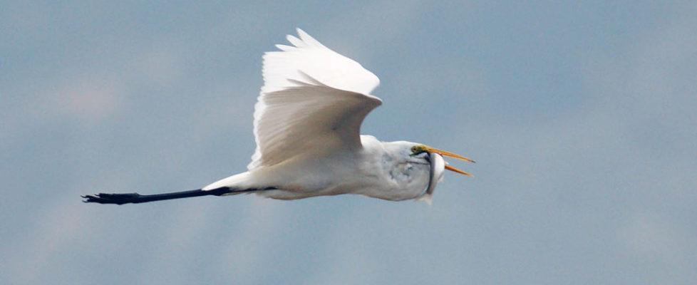 大白鷺 Great Egret
