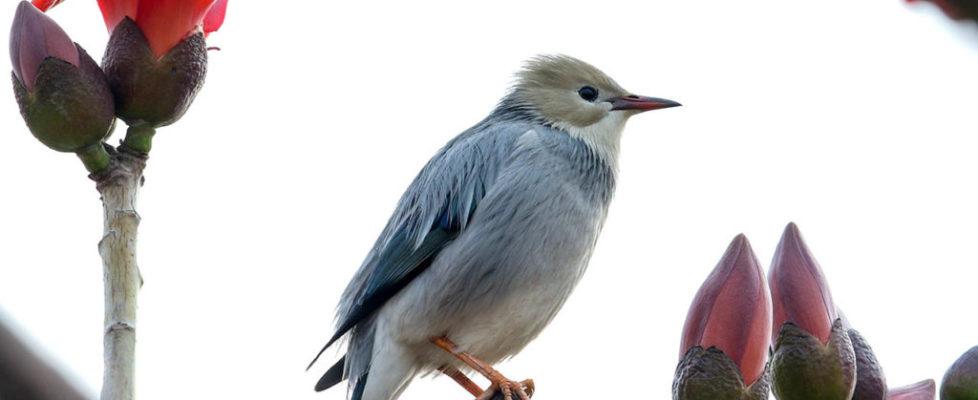絲光椋鳥 Red-Billed Starling