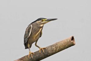 綠鷺 Striated Heron