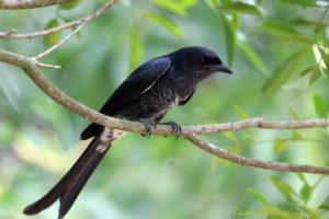 黑卷尾 Black Drongo