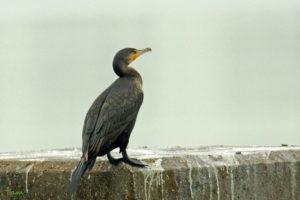 普通鸕鷀 Great Cormorant