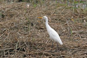 牛背鷺 Cattle Egret