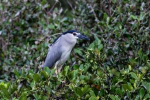 夜鷺 Black-crowned Night Heron