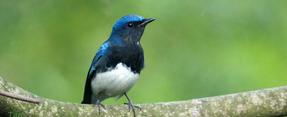 白腹藍姬鶲 Blue-and-white Flycatcher