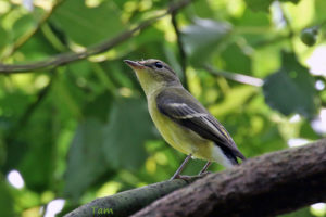 白眉姬鶲 Yellow-rumped Flycatcher