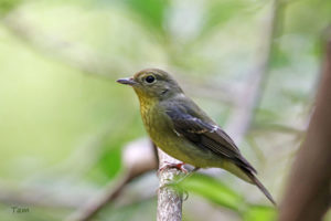 綠背姬鶲 Green-backed Flycatcher