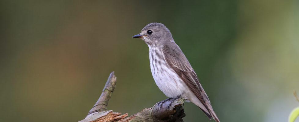 gs-flycath (3)