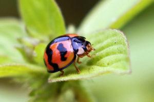 六斑月瓢蟲 Cheilomenes sexmaculata