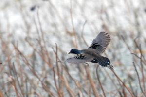黑水雞 Common Moorhen