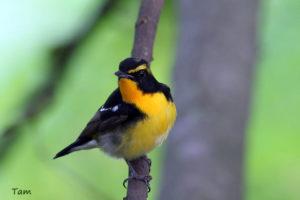 黃眉姬鶲 Narcissus Flycatcger