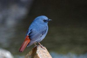 紅尾水鴝 Plumbeous Water Redstart