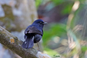 白尾地鴝 White-tailed Robin