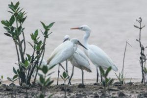 黃嘴白鷺 Chinese Egret