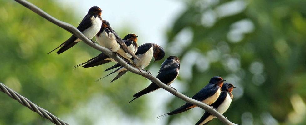 家燕 Barn Swallow
