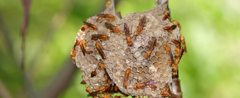 印度異腹胡蜂 Parapolybia indica
