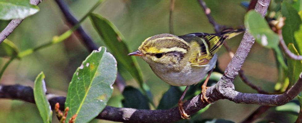 warbler (5)