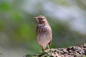 紅尾歌鴝 Rufous-tailed Robin