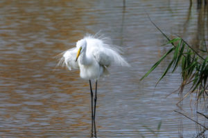 中白鷺  Intermediate Egret
