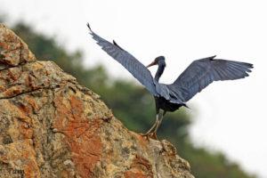 岩鷺 Pacific Reef Egret