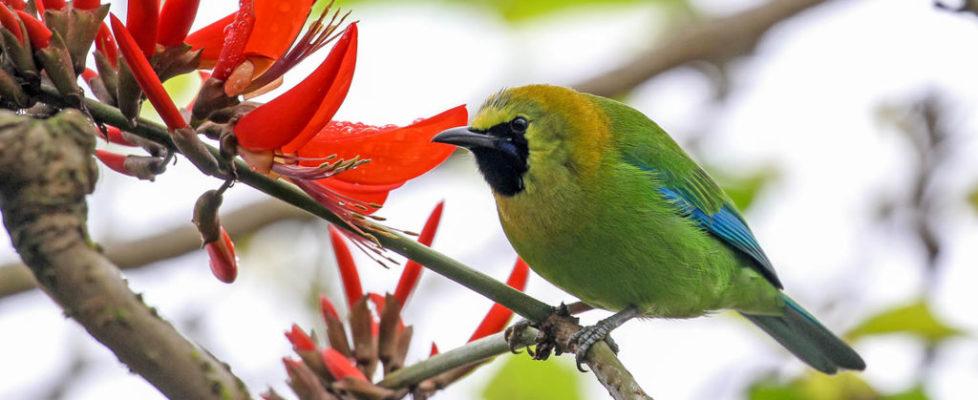 leafbird 1