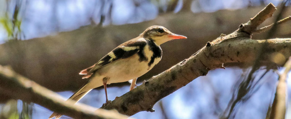 wagtail-t (4)
