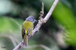 方尾鶲 Grey-headed Canary Flycatcher
