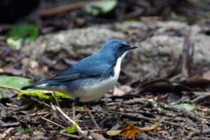 藍歌鴝 Siberian Blue Robin