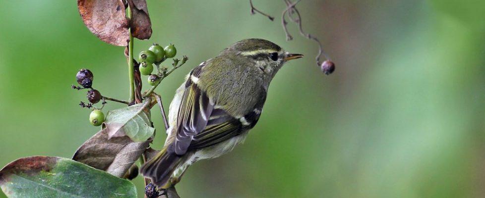 y-b-warbler (4)