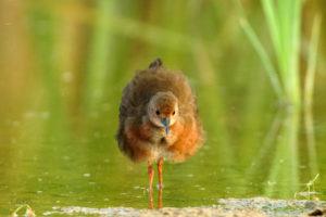 紅胸田雞 Ruddy-breasted Crake