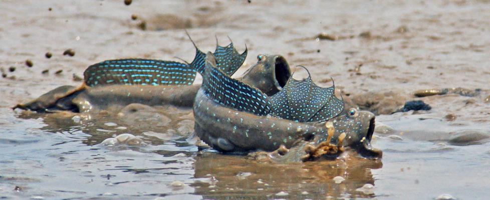 大彈塗魚  Boleophthalmus pectinirostris