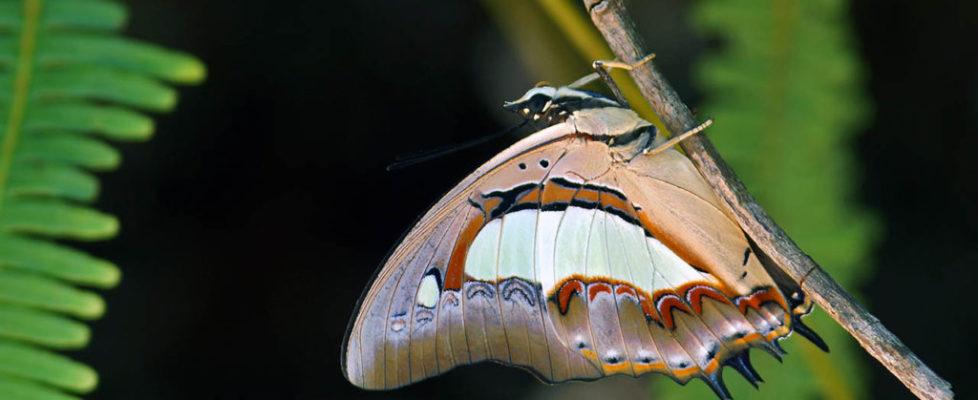 窄斑鳳尾蛺蝶 Polyura athamas