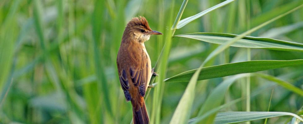 東方大葦鶯 Oriental Reed Warbler