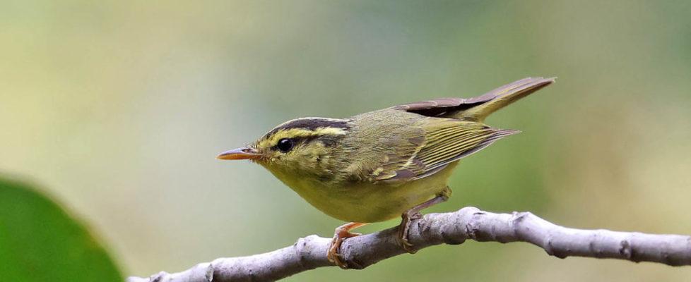 黑眉柳鶯 Sulphur-breasted Warbler