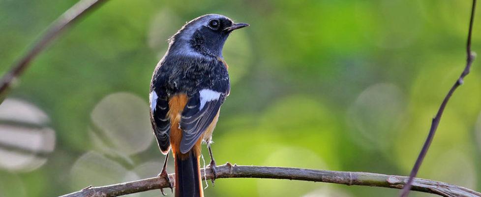 北紅尾鴝 Daurian Redstart