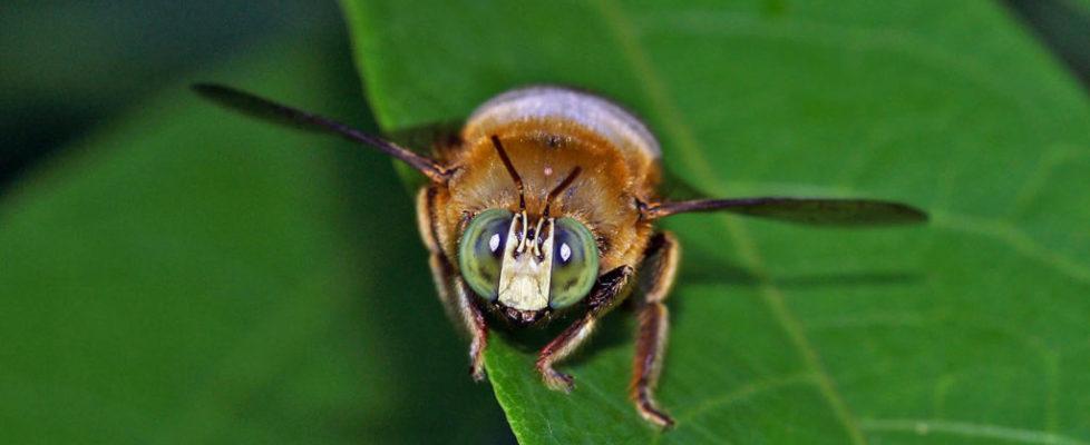 領木蜂 Xylocopa collaris