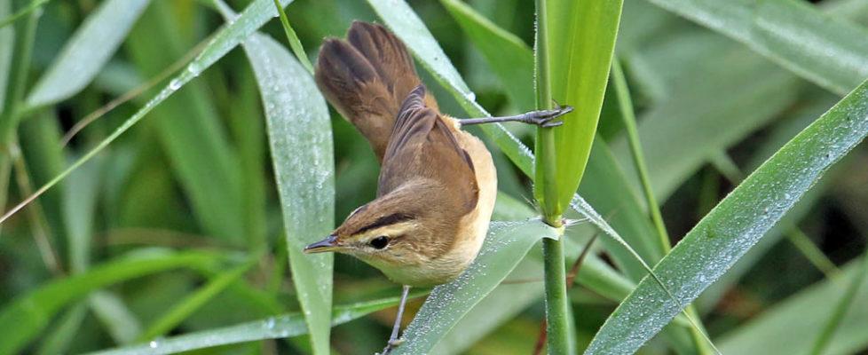 黑眉葦鶯 Black-Browed Reed Warbler