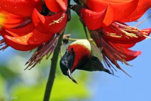叉尾太陽鳥 Fork-tailed Sunbird