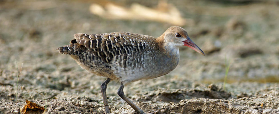 灰胸秧雞 Slaty-breasted Rail