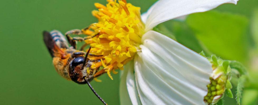 切葉蜂 Megachile sp.