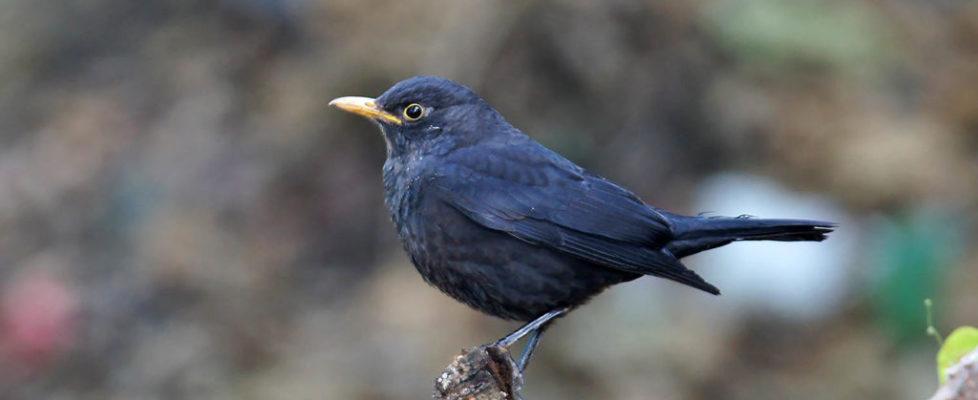 烏鶇 Common Blackbird