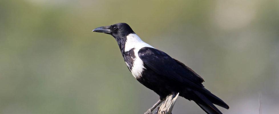 白頸鴉 Collared Crow
